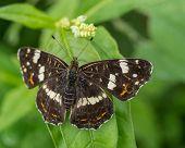 Black Butterfly On Leaf