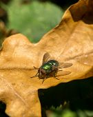 Fly Resting On Brown Leaf