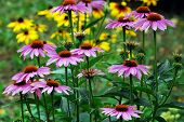 Echinacea Purpurea - An Herb Stimulating The Immune System