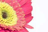 Vintage Gerber Flower Close Up Design Isolated On White Background