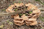 picture of bracket-fungus  - Circle of bracket fungi around a group of smaller mushrooms
