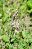 Spiranthes Sinensis
