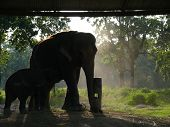 Asian Elephant And Babe In Captivity
