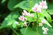 Pink Confederate Vine Blooming In The Garden