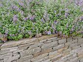 stock photo of purple sage  - The Summer sage grows on the garden wall - JPG