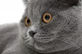 Portrait Of A Gray Cat (breed Scottish Straight) Close-up