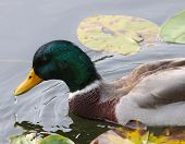 foto of male mallard  - A male mallard with a water drop on his beak - JPG