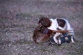 Liver And White Working Type English Springer Spaniel Pet Gundog Retrieving A Pheasant