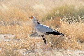 stock photo of sagittarius  - Secretary Bird Sagittarius serpentarius Kgalagadi Transfrontier Park South Africa - JPG