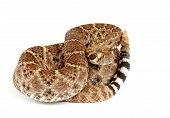 stock photo of western diamondback rattlesnake  - Closeup of a Western Diamondback Rattlesnake  - JPG