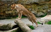 stock photo of lioness  - African cat - JPG