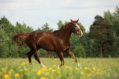 Chestnut Horse Trotting At The Flower Field