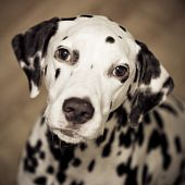 picture of firehouse  - Head shot of Dalmatian dog sitting and looking up - JPG