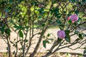 Pink Camellia Blossom
