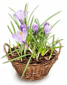 Crocus flowers in the splint basket. On a white background.