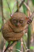 pic of southeast  - Tarsier sitting on a tree Bohol island Philippines Southeast Asia - JPG