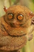 Tarsier Sitting On A Tree, Bohol Island, Philippines