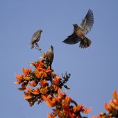 Chestnut-tailed Starling.  In Bardia national park, Nepal