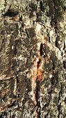 Resinous tree bark