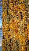 Lichen colony