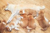 Japanese Akita-inu Breed Mother With Puppies