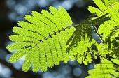 Green leaves in sun back light of Albizia julibrissin