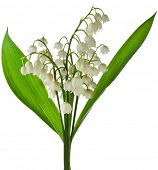 Lily of the Valley (Convallaria Majalis) isolated on white