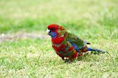 Australian Multicoloured Parrot
