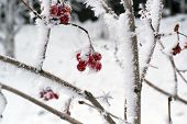 foto of wild-brier  - frozen berries of wild rose in the winter snow on the bush - JPG