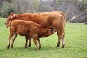 Suckling Limousin Calf