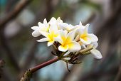 White And Yellow Frangipani Flowers With Branch