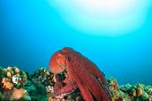 Large Octopus On A Coral Reef