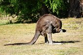foto of masturbate  - Kangaroo checking crotch as a morning ritual - JPG