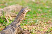 Close Up Face Of Water Monitor Varanus Salvator Open Mouth And Lying On Green Grass Field