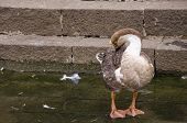 image of webbed feet white  - cute brown and white duck relaxing near the waterfront. ** Note: Soft Focus at 100%, best at smaller sizes - JPG