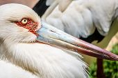 stock photo of stork  - Stork close up photographed in the Palmitos park in Gran Canaria