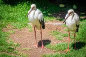 picture of stork  - Two storks photographed in the Palmitos park in Gran Canaria