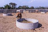 pic of feedlot  - Thai Cows Eating In The Farm  - JPG