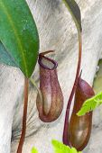 stock photo of nepenthes  - Leaves of a pitcher plant (Nepenthes rebecca) ** Note: Shallow depth of field - JPG