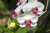 pic of moth  - Chaplet of white moth orchid flowers  - JPG