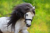 picture of pony  - Grey pony with long mane portrait against green field - JPG