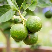 image of lime  - green lemon  - JPG