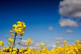 foto of rape-field  - Yellow Canola field Rape field - JPG