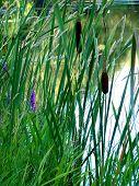 Cattails Beside Pond