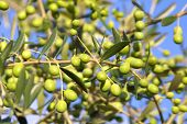 stock photo of olive trees  - an olive branch with ripe olives  - JPG