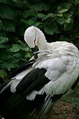 The Japanese Stork.