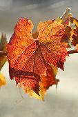 Fall Merlot Leaf