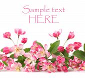 stock photo of apple blossom  - Border made of pink spring flowers isolated on white background - JPG