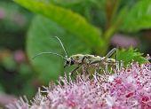 Escarabajo (Chlorophorus Simillimus)