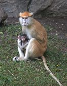 Patas Monkey Mother And Infant